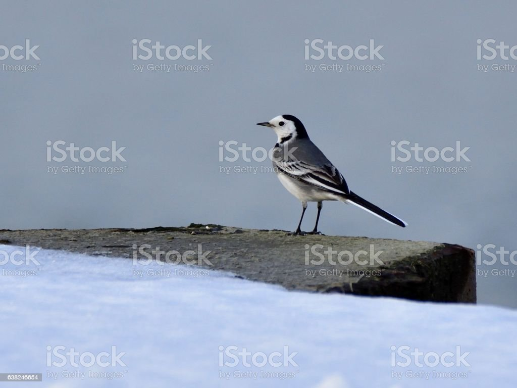 The white wagtail (Motacilla alba) on river enbankment in winter stock photo