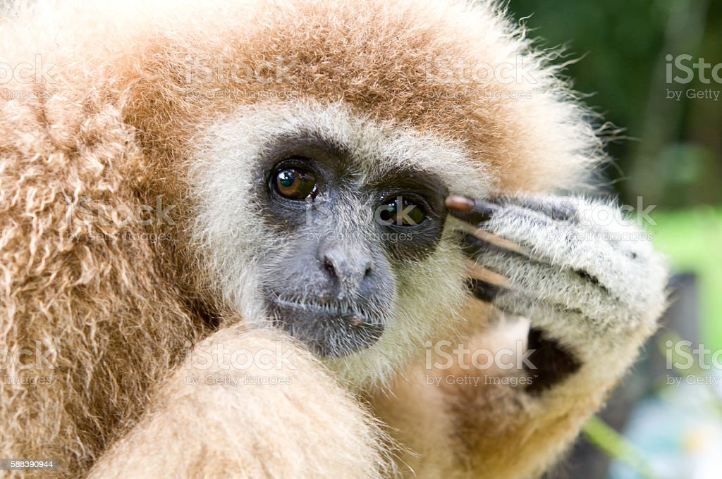 The white-hand gibbon in the forest stock photo