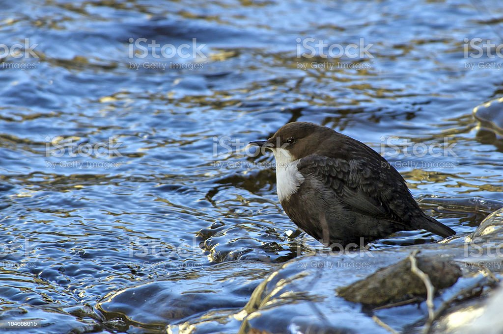 The White-throated Dipper (Cinclus_cinclus) stock photo