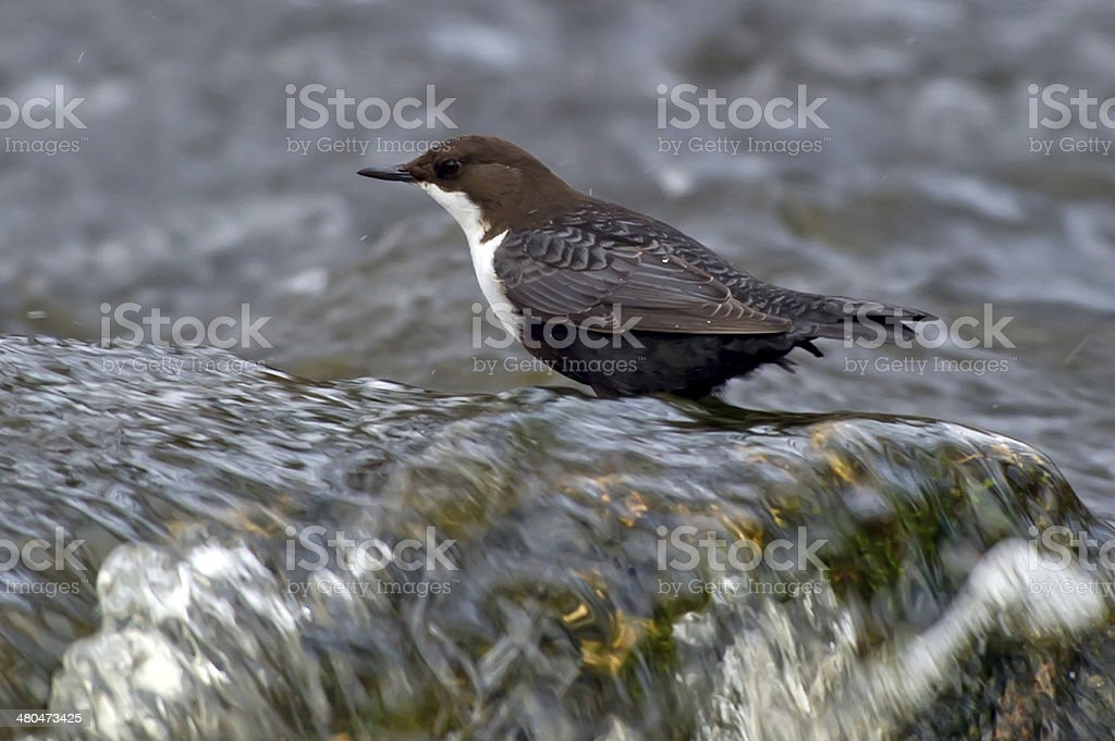 The White-throated Dipper stock photo