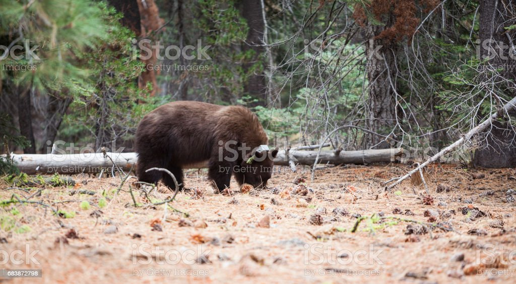 The wild bear wearing the radio collar in the forest of Yosemite National Park stock photo