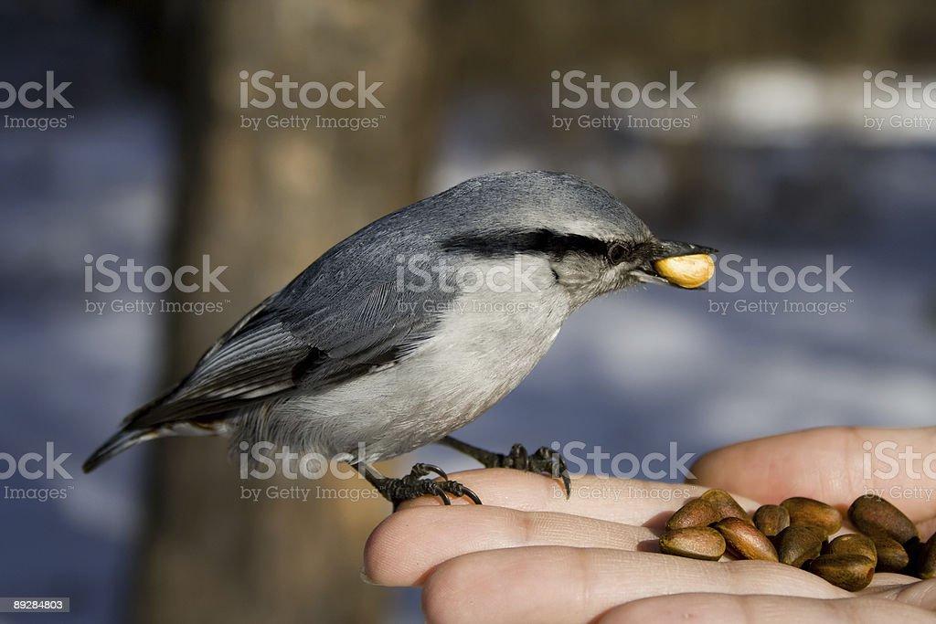 the wild bird sitting on hand royalty-free stock photo
