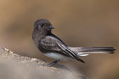The Wild Black Phoebe Pearching on the Rock