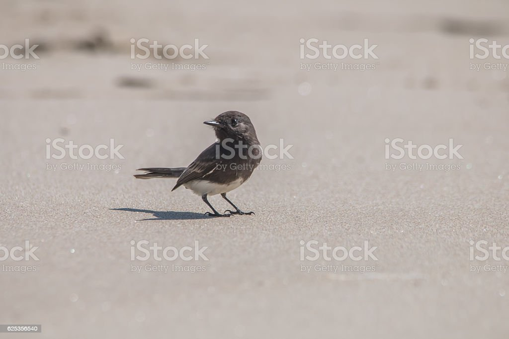 The Wild Black Phoebe Pearching on the Rock stock photo