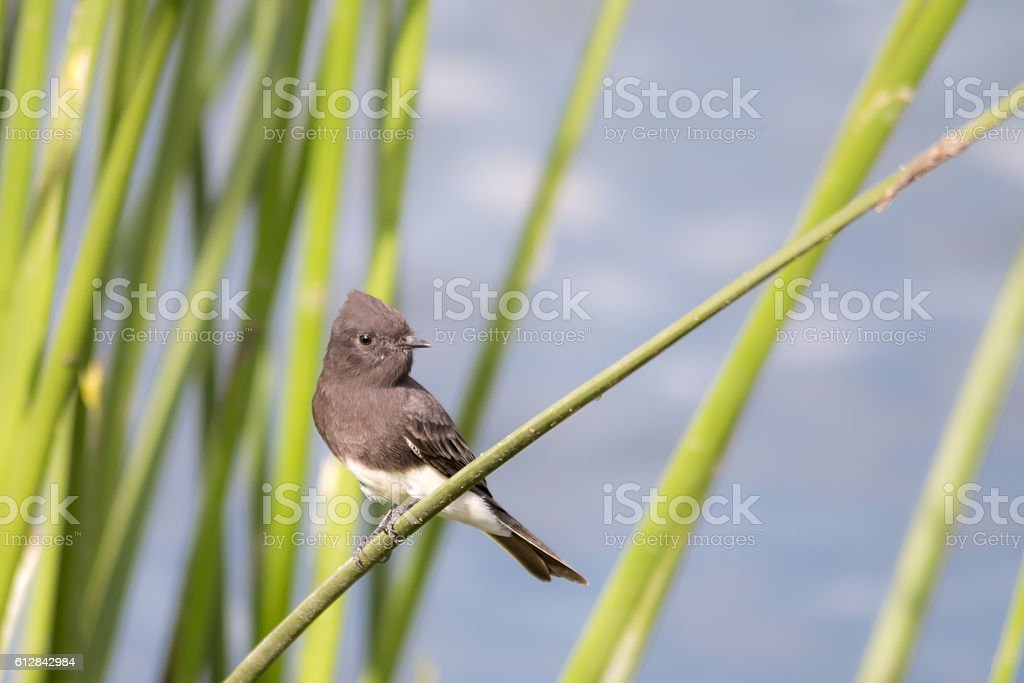 The Wild Black Phoebe Perching on the Grasses at Malibu stock photo