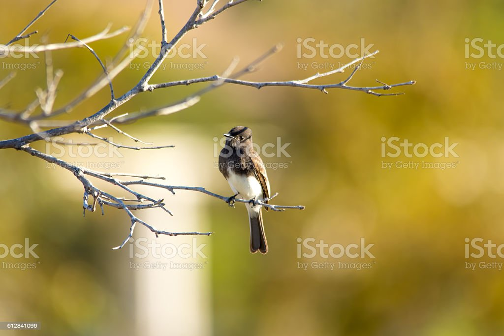The Wild Black Phoebe Perching on the Tree at Malibu stock photo
