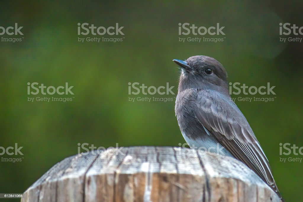 The Wild Black Phoebe Perching on the Wooden Pole stock photo