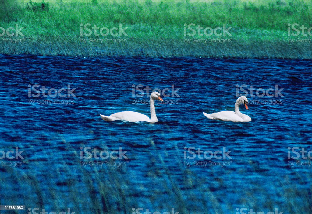 The wild swans in their natural habitat. stock photo