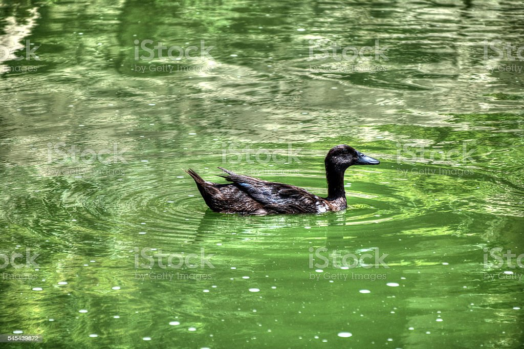 The Wild Wild Duck stock photo