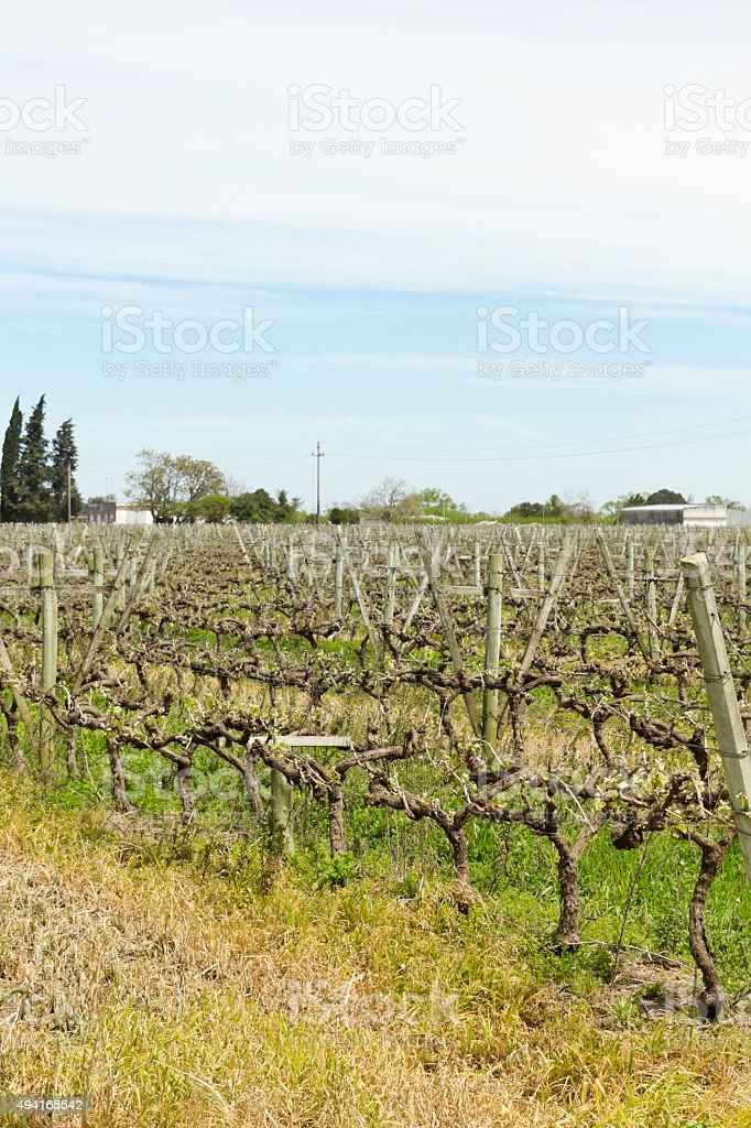 The wine walk, Uruguay stock photo