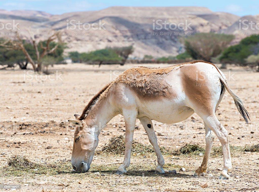 The wold onager (Equus hemionus) stock photo