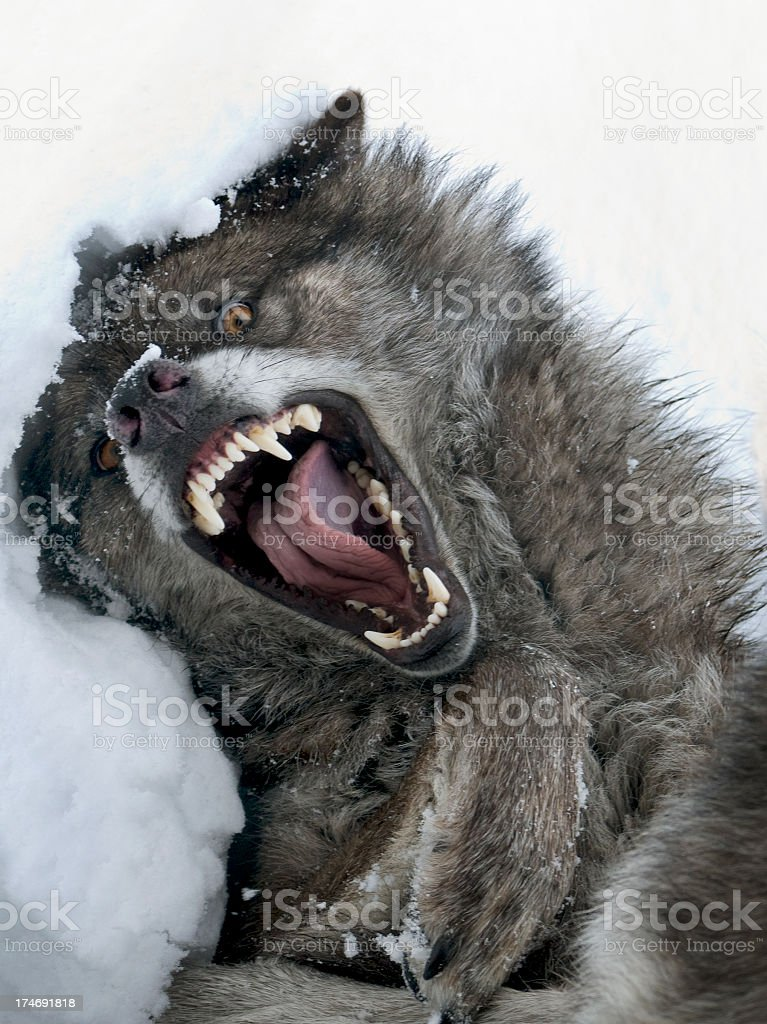 The wolf is a very ferocious animal stock photo