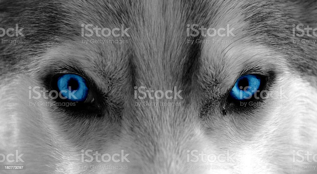 The Wolf Within stock photo