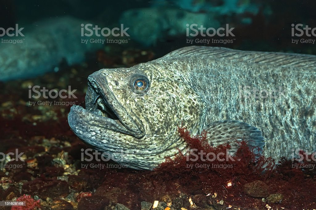 The wolf-fish royalty-free stock photo