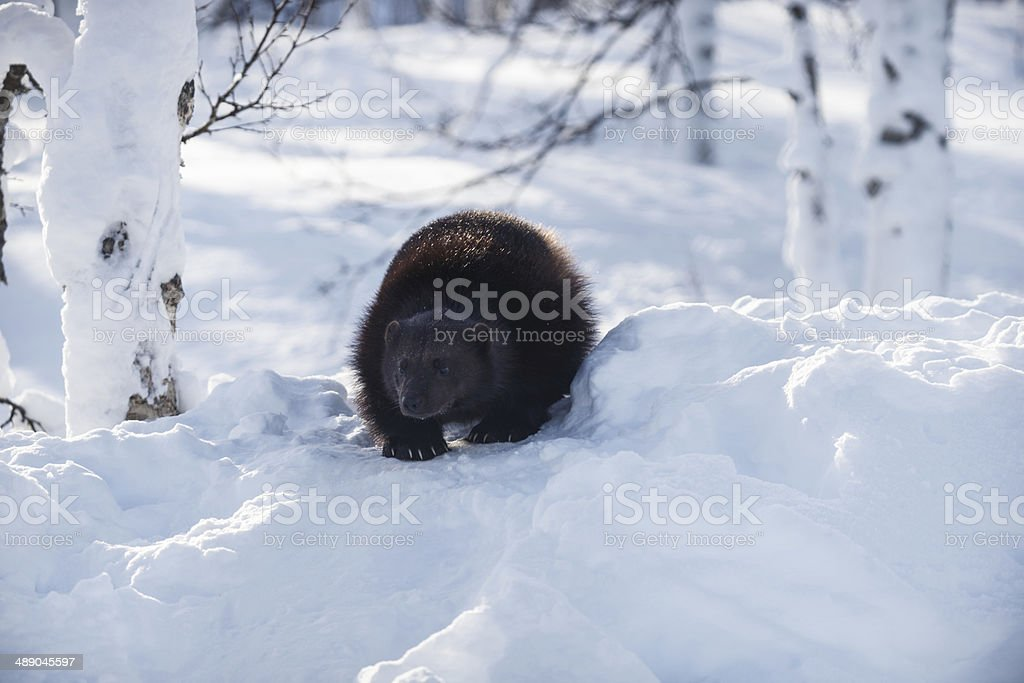 The Wolverine Hunting For Food In The Snow stock photo