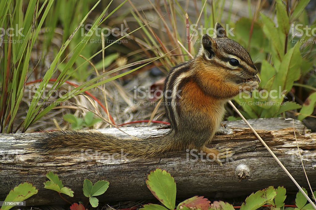The world's most adorable chipmunk stock photo