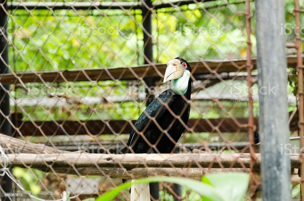 The Wreathed hornbill. stock photo