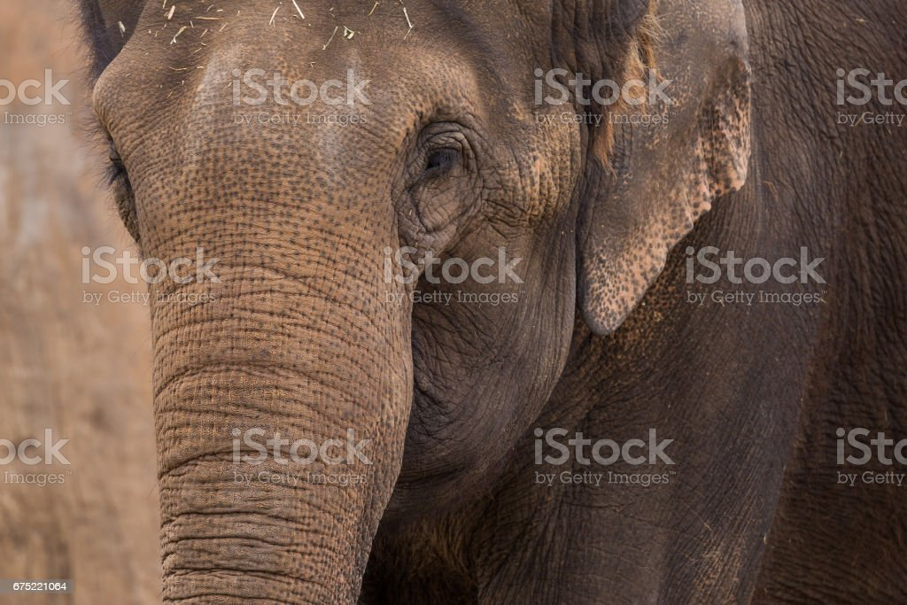 The wrinkled rear end of a African elephant stock photo