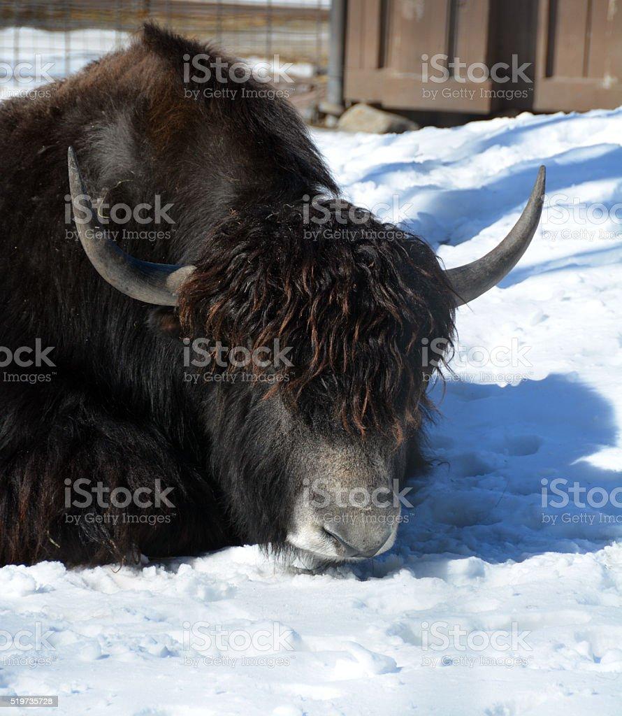 The yak stock photo