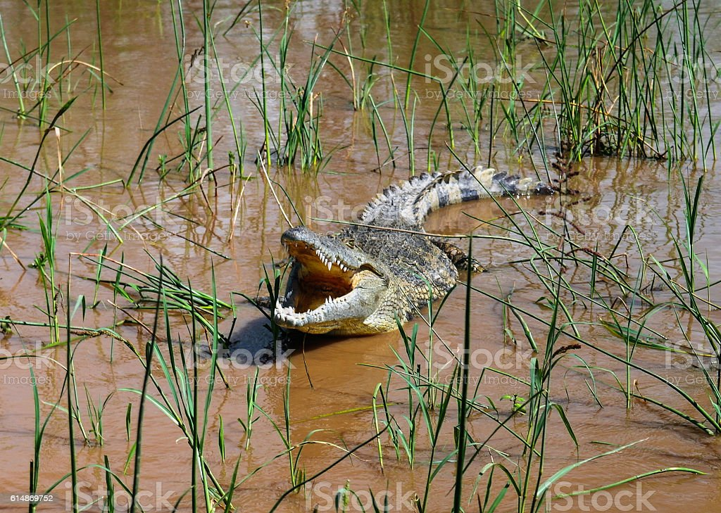 The yawning Nile crocodile Chamo lake, Nechisar national park, Ethiopia stock photo