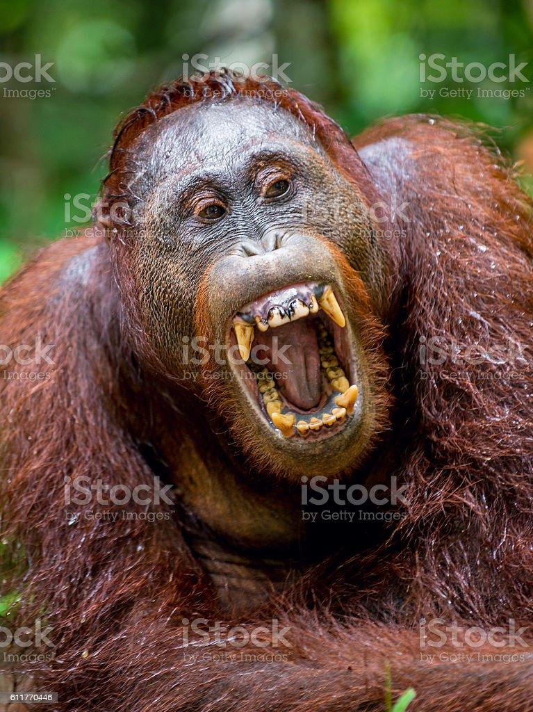 The yawning orangutan stock photo