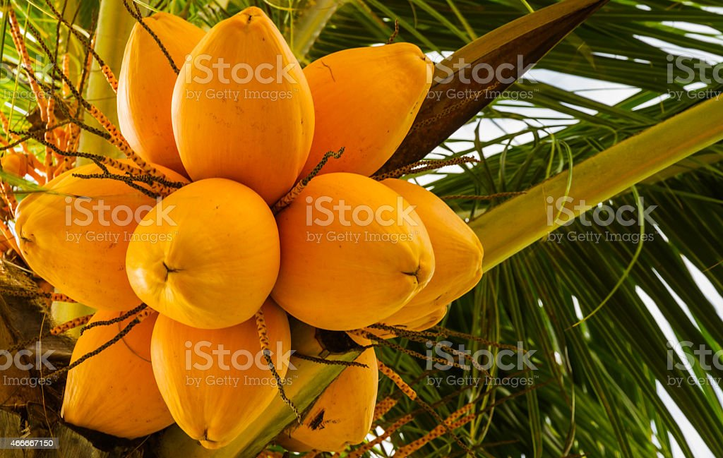 The yellow coconut. stock photo