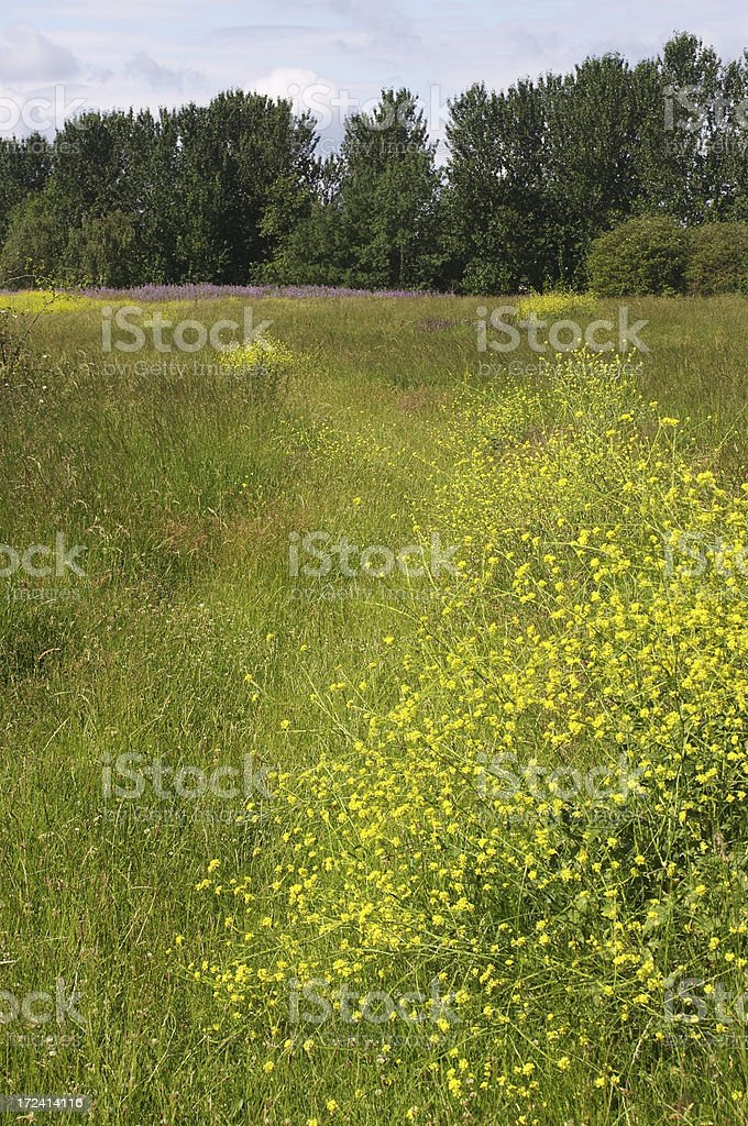 Hedge mustard blooms on Mitcham Common stock photo