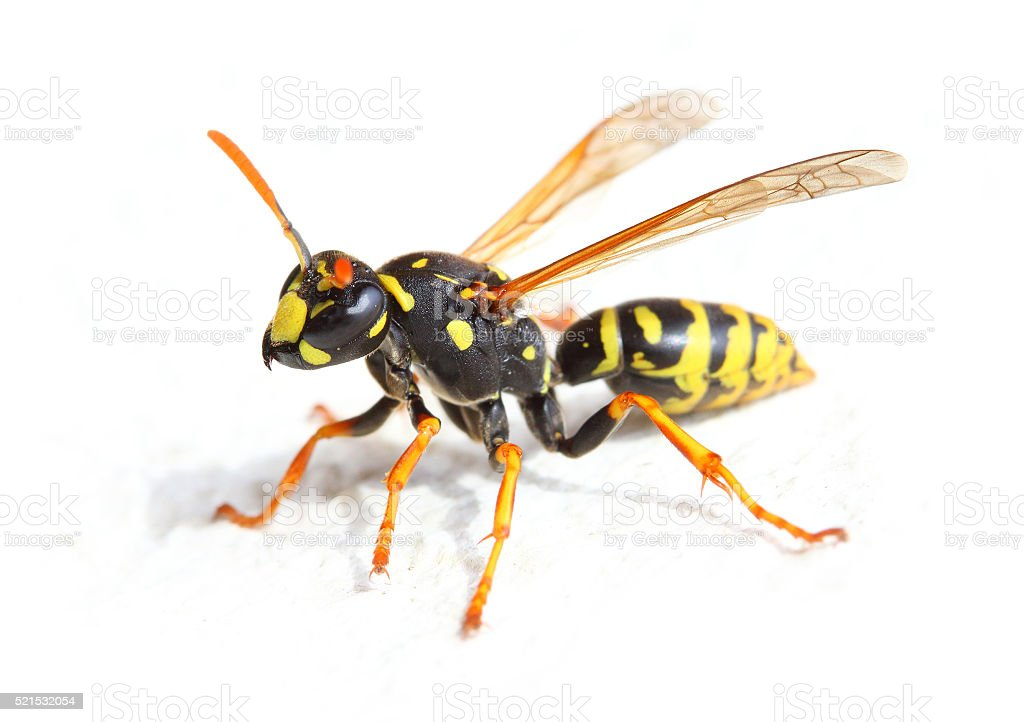 The Yellow Jacket Wasp. stock photo