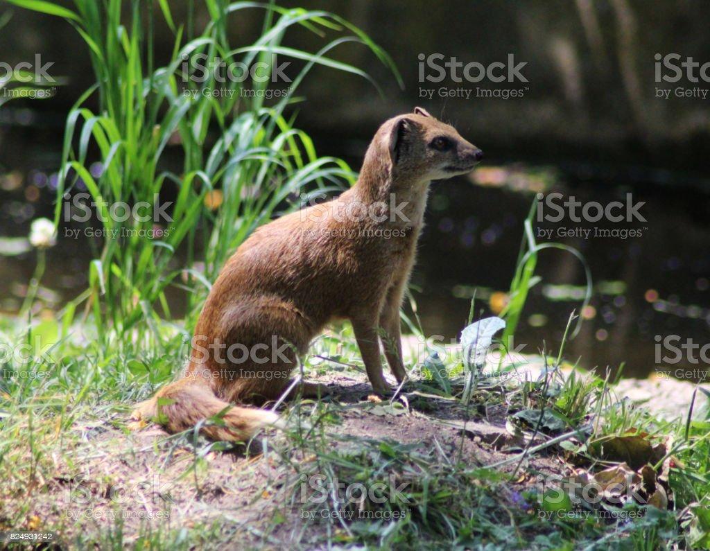 The yellow mongoose (Cynictis penicillata) stock photo