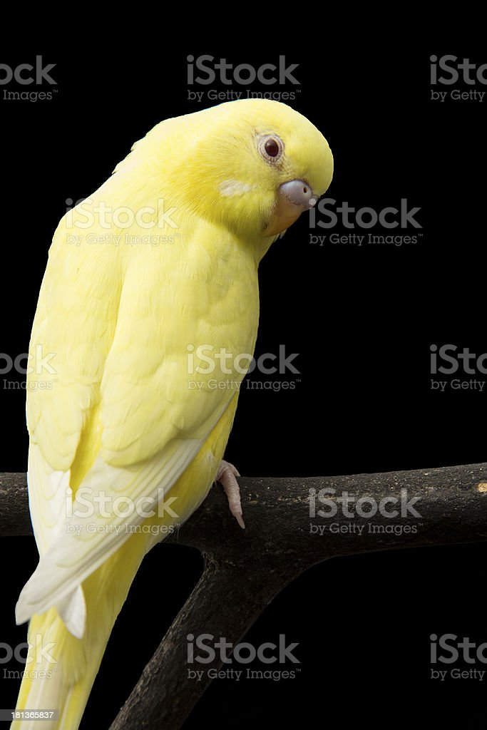 the yellow parrot is on a branch royalty-free stock photo