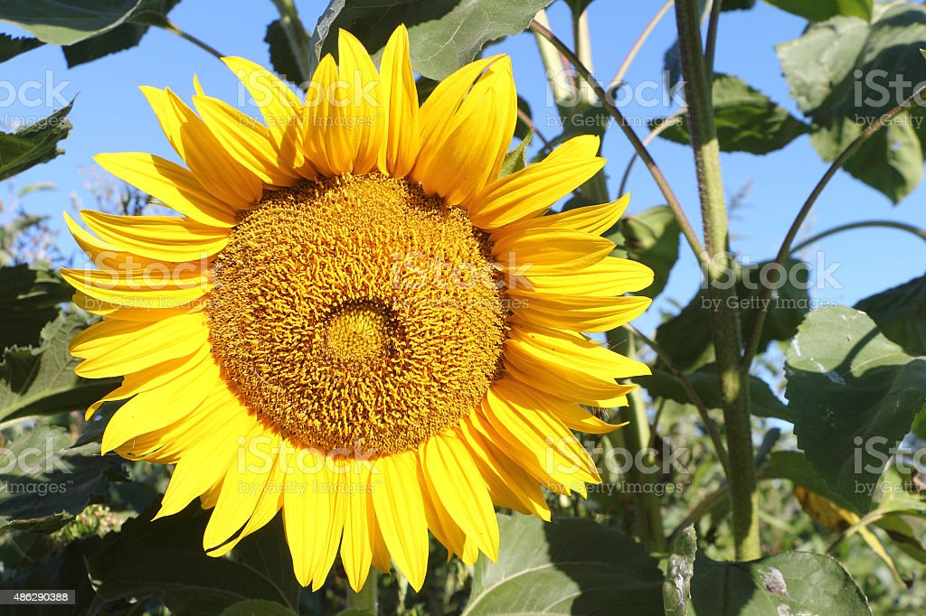The yellow sunflower growing in a garden stock photo