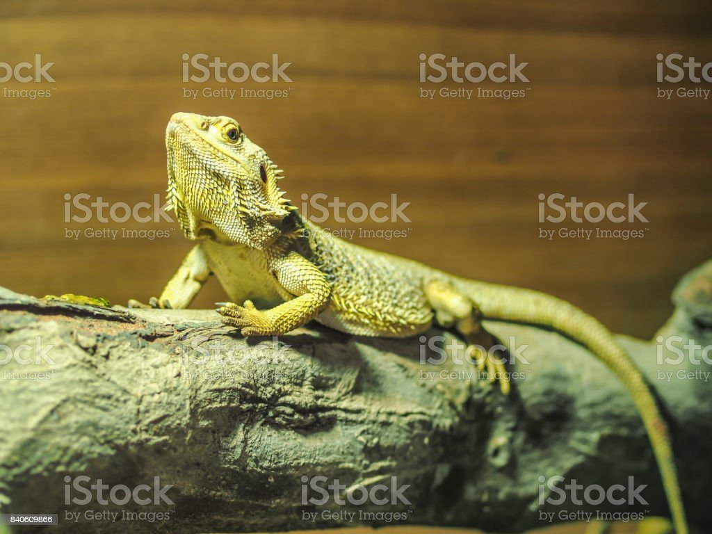 The yellow tree lizard is raising it face up with the eyes looking forward to us. Its skin shows the pattern of the sharp spike around itself. stock photo