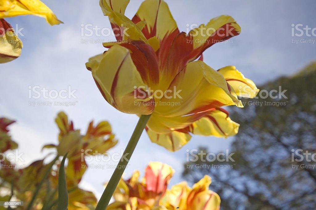 The Yellow Tulip royalty-free stock photo