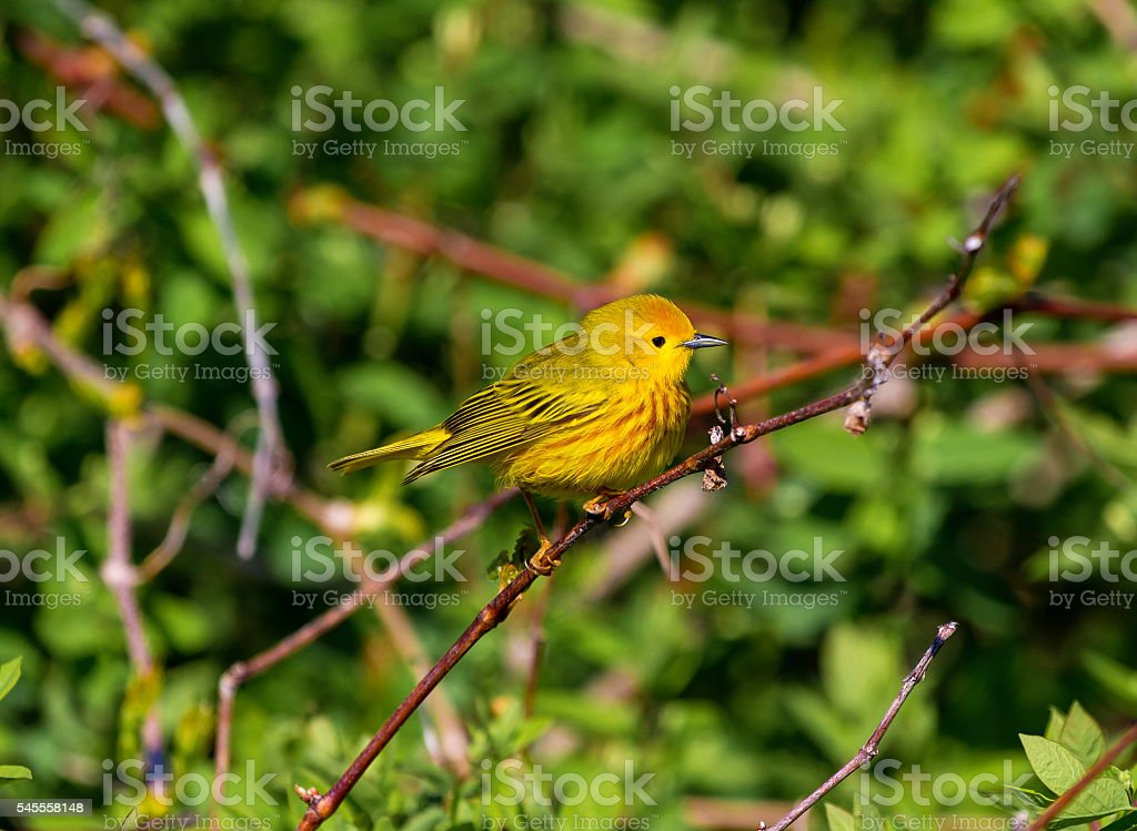 The Yellow Warbler. stock photo