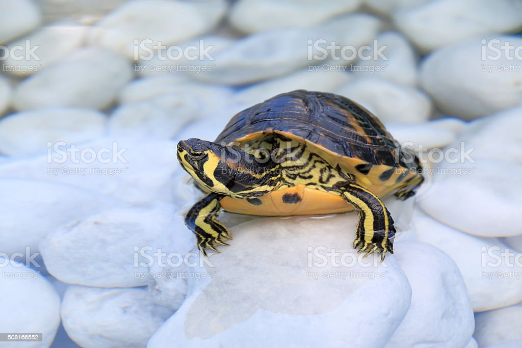 The yellow-bellied slider (Trachemys scripta scripta) in a water stock photo
