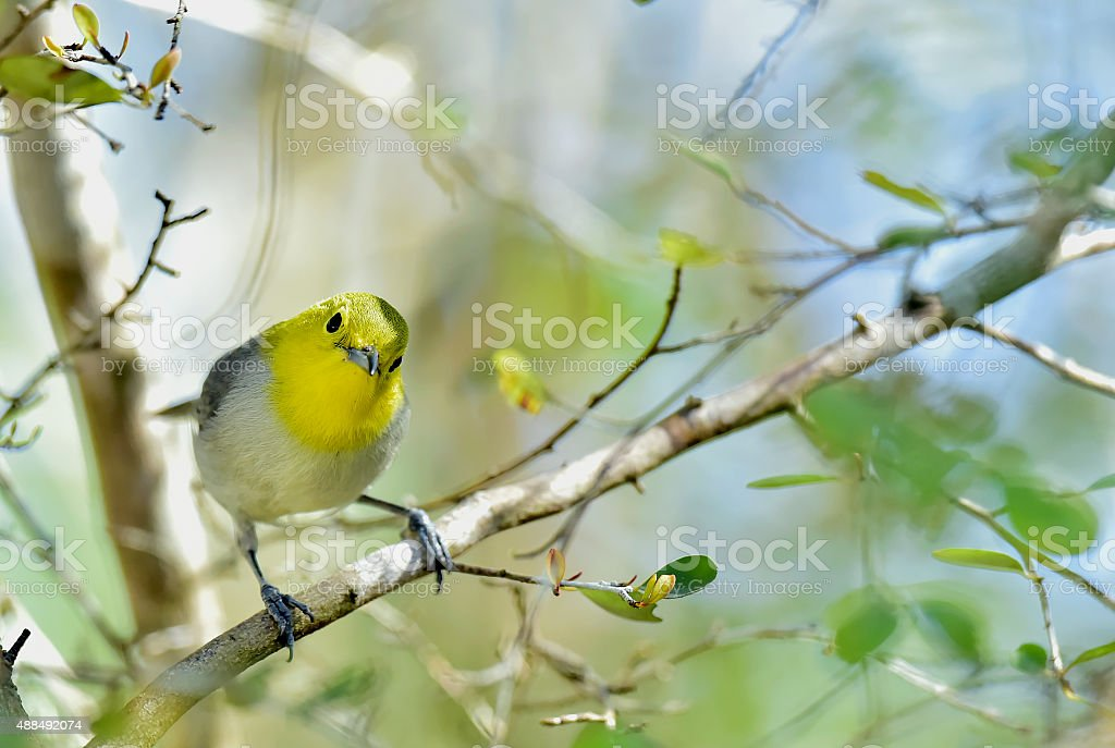 The yellow-headed warbler (Teretistris fernandinae) stock photo