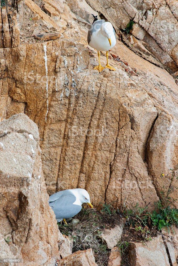 The Yellow-legged Gull (Larus michahellis),in their nest stock photo