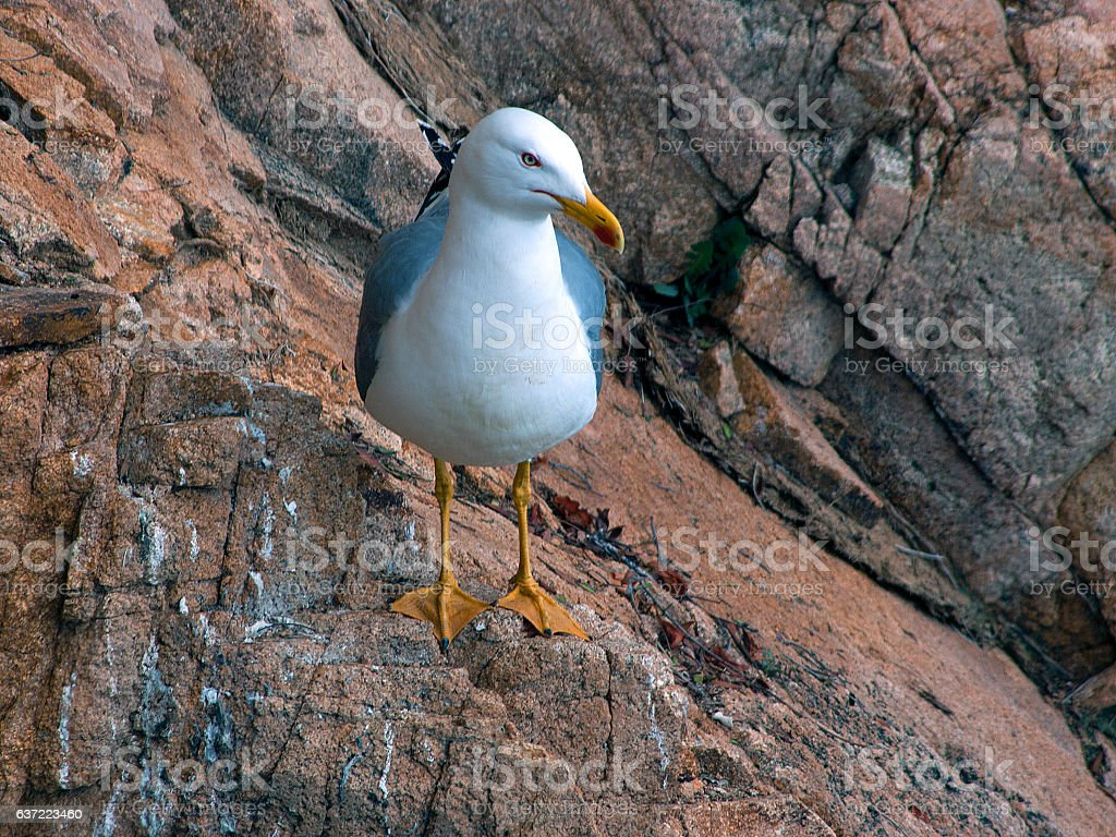 The Yellow-legged Gull (Larus michahellis) stock photo