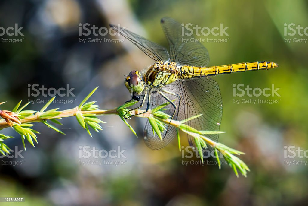 The yellow-winged darter (Sympetrum flaveolum) royalty-free stock photo