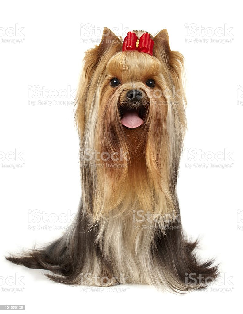 The Yorkshire Terrier of show class stock photo
