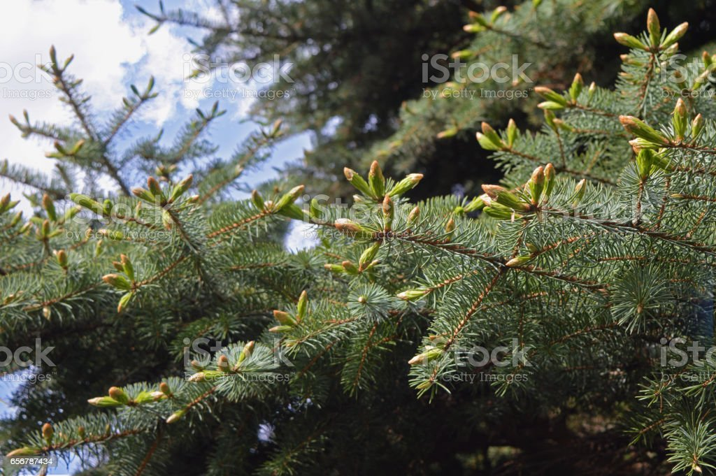 The young buds on the branches of spruce. stock photo