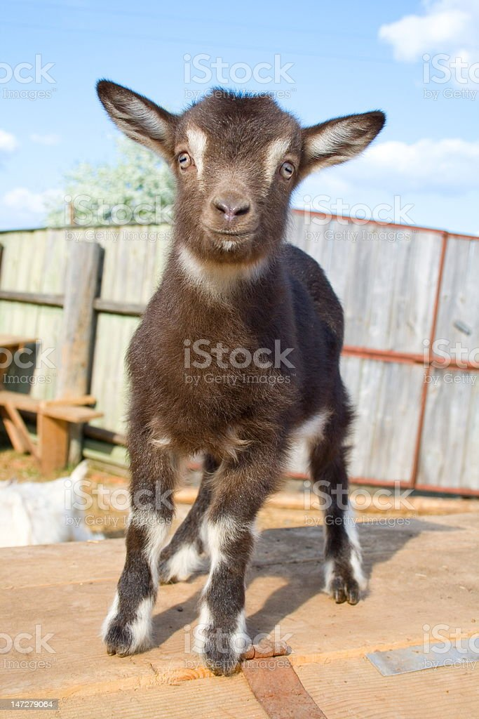 The young  goatling. royalty-free stock photo