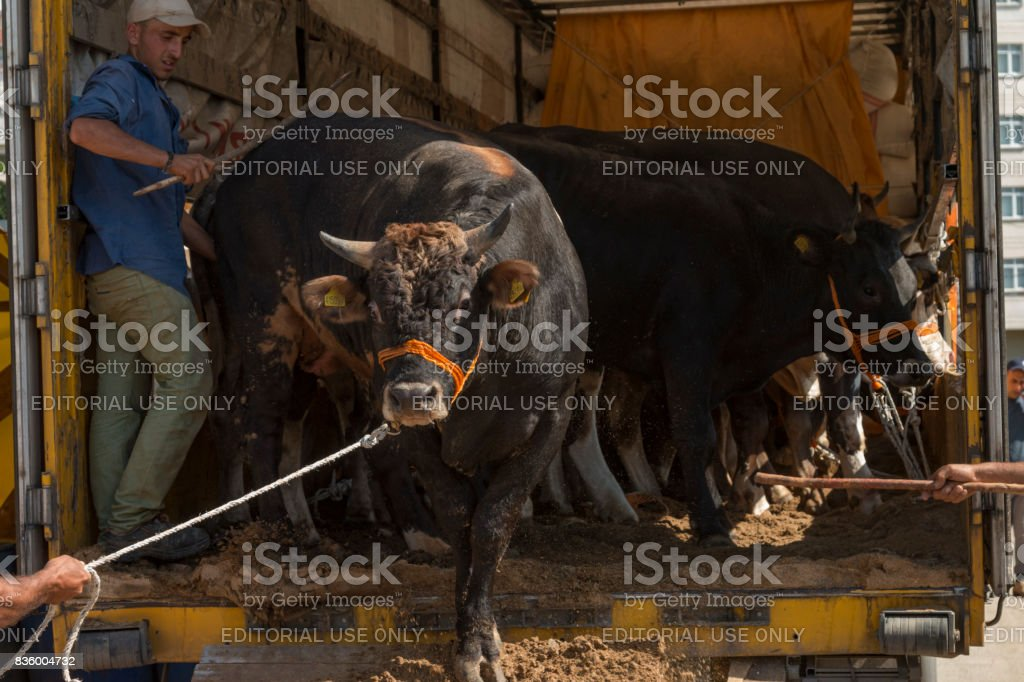 The young man sells his animals for the upcoming sacrifice feast stock photo