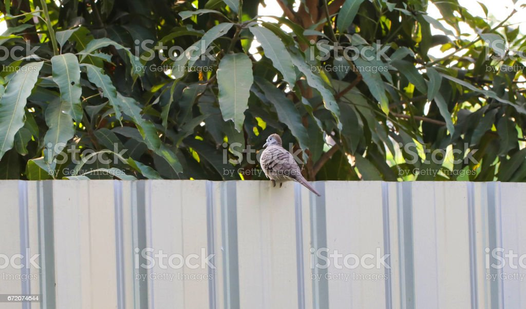 The Zebra Dove Bird on the fence
