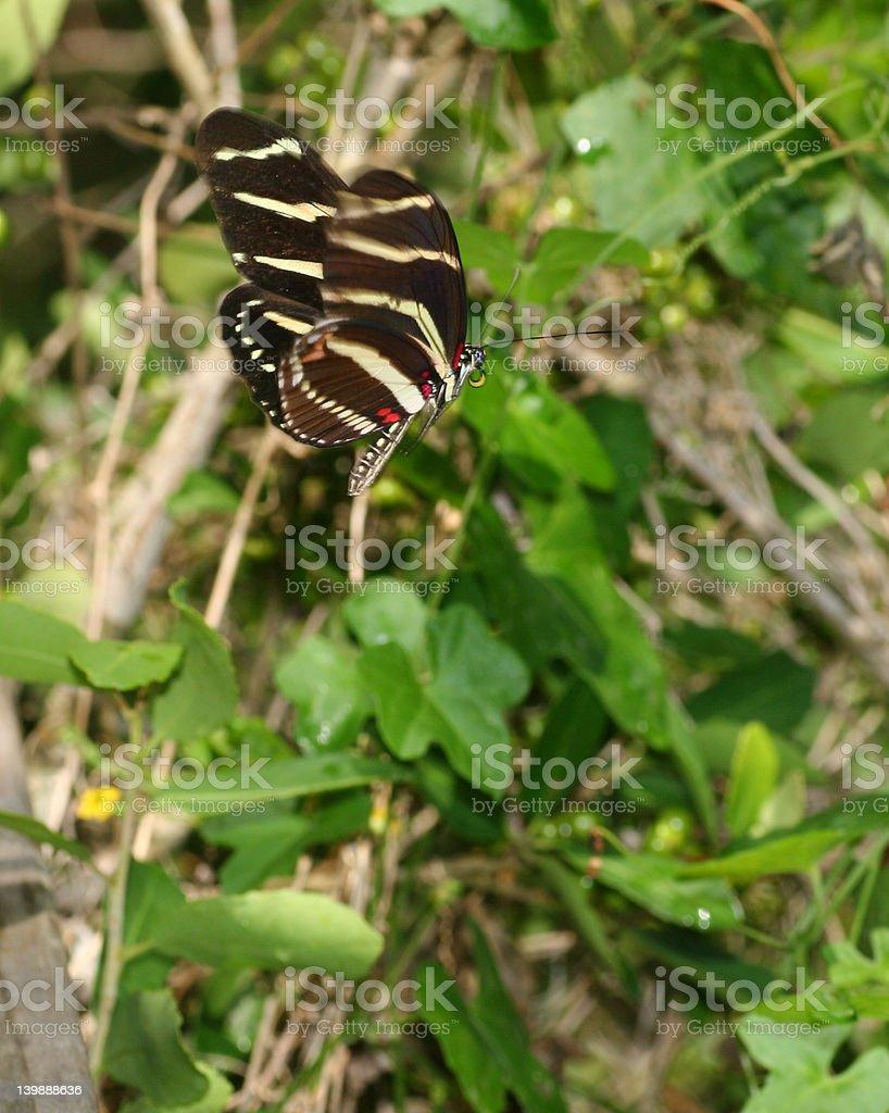 La mariposa cebra de alas largas foto de stock libre de derechos