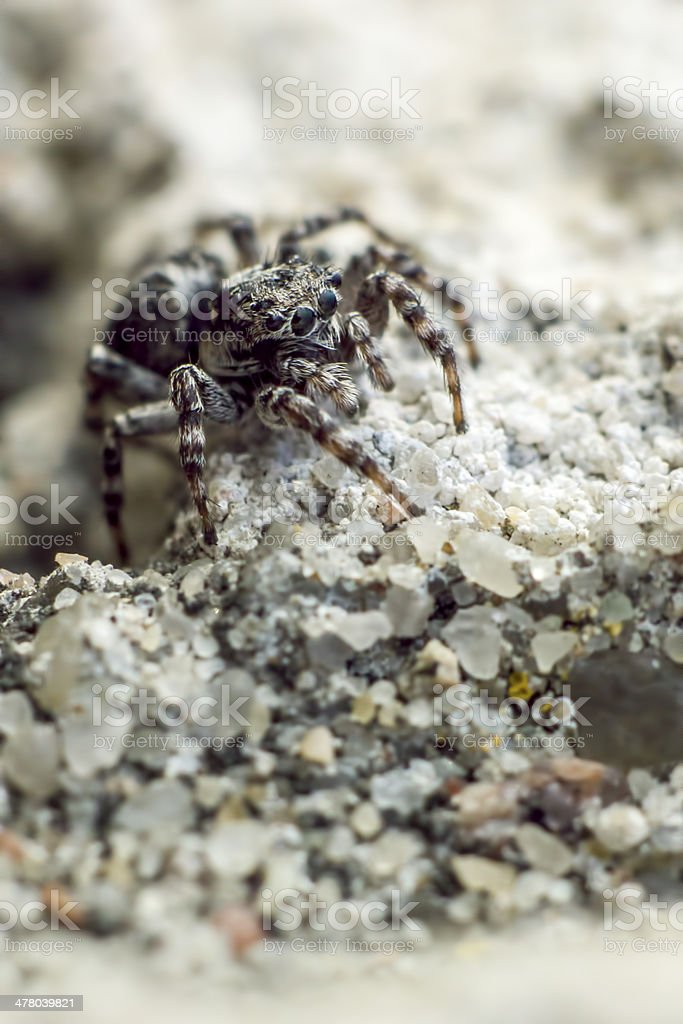 The zebra spider, Salticus scenicus royalty-free stock photo