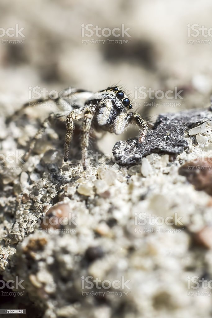 The zebra spider, Salticus scenicus royalty-free stock photo