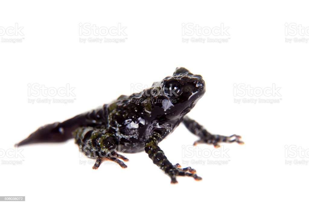Theloderma bicolor, rare spieces of frog on white stock photo