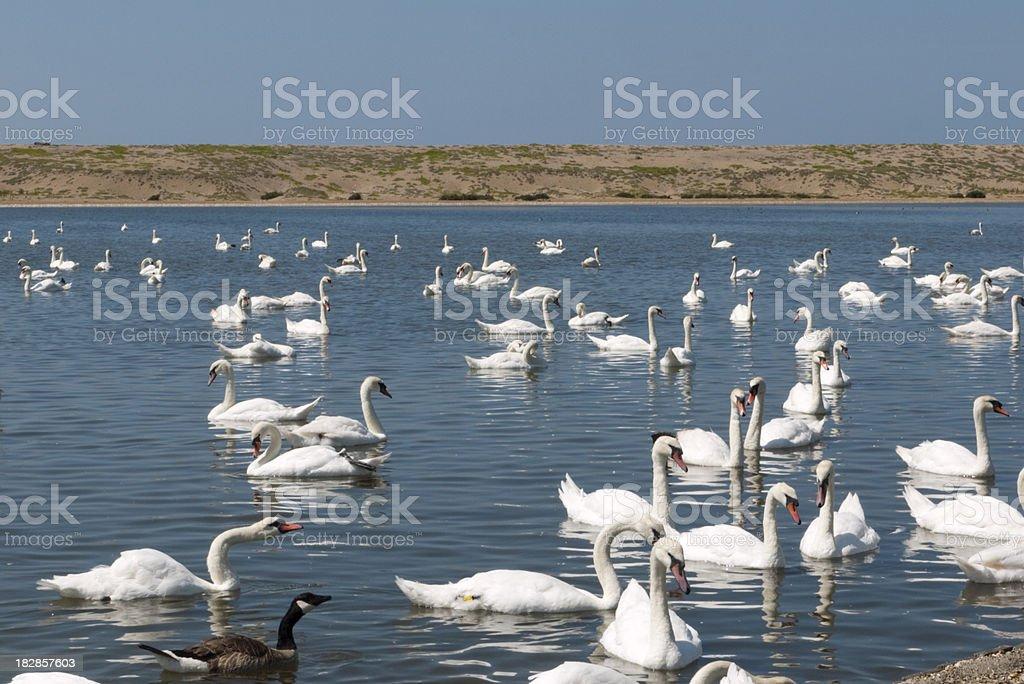 Them Swans royalty-free stock photo