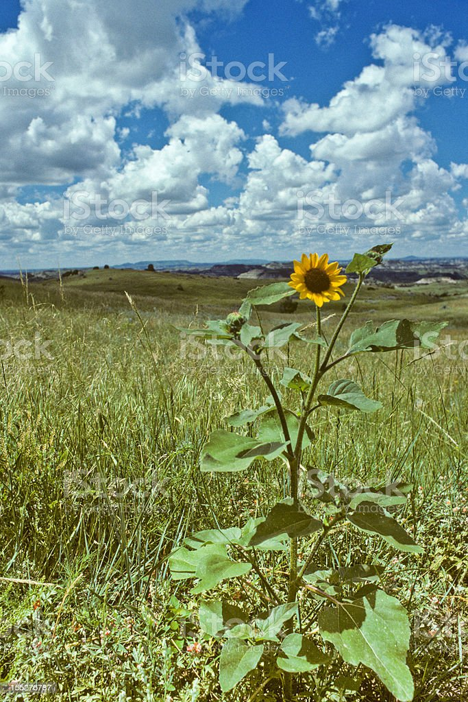 Badland Meadow and Sunflower royalty-free stock photo
